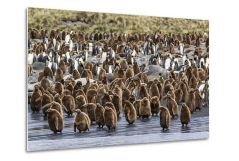 Adult King Penguins and Okum Boy Chicks (Aptenodytes Patagonicus) Heading to Sea in Gold Harbor-Michael Nolan-Metal Print