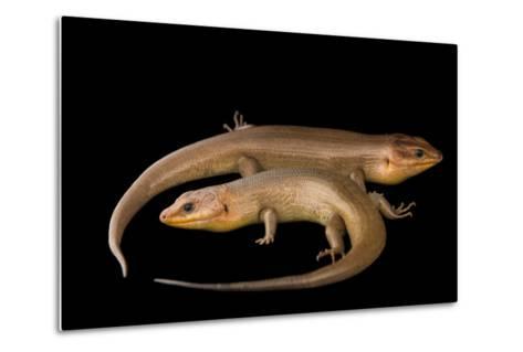 Broad-Headed Skinks, Plestiodon Laticeps-Joel Sartore-Metal Print
