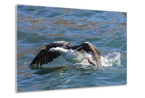 Adult South Georgia Shag (Phalacrocorax Atriceps Georgianus), in Ocean Harbor, South Georgia-Michael Nolan-Metal Print
