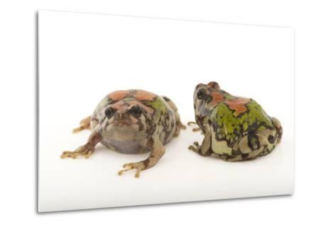 Endangered Malagasy Rainbow Frogs, Scaphiophryne Gottlebei-Joel Sartore-Metal Print