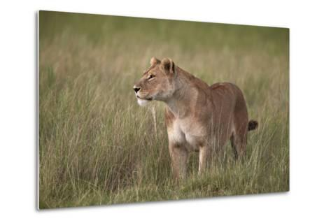 Lion (Panthera Leo) Female (Lioness) in Tall Grass-James Hager-Metal Print