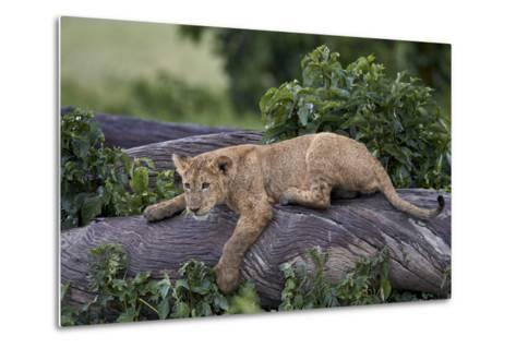 Lion (Panthera Leo) Cub on a Downed Tree Trunk in the Rain-James Hager-Metal Print