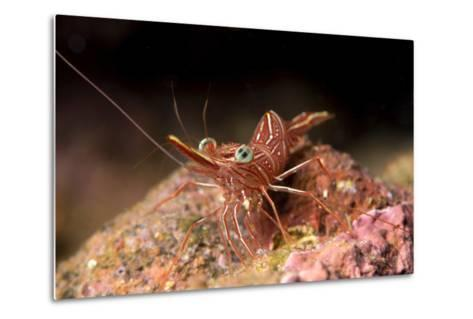 Hinge Beak Shrimp (Hinge Beak Prawn) (Rhynchocinetes Sp.) Emerges to Feed at Night-Louise Murray-Metal Print