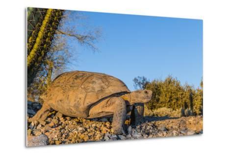 Adult Captive Desert Tortoise (Gopherus Agassizii) at Sunset at the Arizona Sonora Desert Museum-Michael Nolan-Metal Print