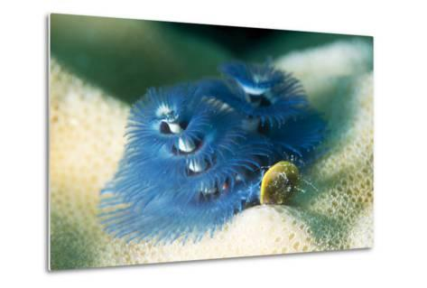 Blue Christmas Tree Worm (Spirobranchus Giganteus), Cairns, Queensland, Australia, Pacific-Louise Murray-Metal Print