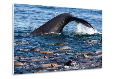 A Humpback Whale Dives for Anchovies Near a Group of California Sea Lions, Zalophus Californianus-Jak Wonderly-Metal Print