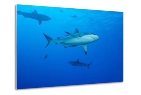 Whitetip Reef Shark (Triaenodon Obesus) Is a Requiem Shark in the Genus Carcharinidae-Louise Murray-Metal Print