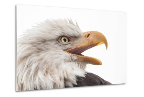 Close Up of Bald Eagle, Haliaeetus Leucocephalus, with its Beak Open-Jak Wonderly-Metal Print