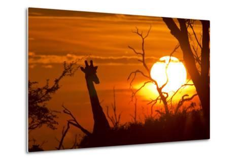 Silhouette of Southern Giraffe at Sunset-Roy Toft-Metal Print