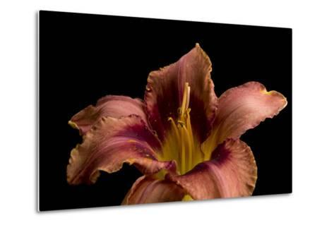 A Burgundy Day Lily, Hemerocallis Species-Joel Sartore-Metal Print