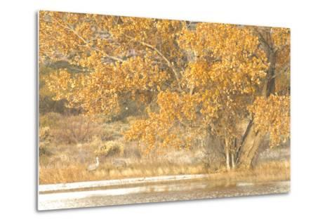 A Pair of Sandhill Cranes Walk under a Fall-Colored Tree on the Side of a Small Lake-Michael Forsberg-Metal Print