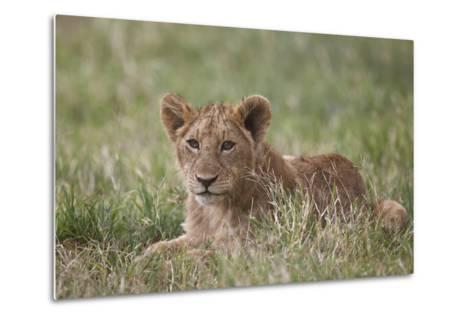 Lion (Panthera Leo) Cubs, Ngorongoro Crater, Tanzania, East Africa, Africa-James Hager-Metal Print