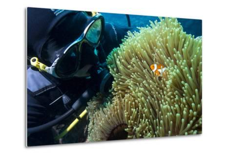 Scuba Diver with False Clown Anenomefish, Magnificent Sea Anemone, Cairns, Queensland, Australia-Louise Murray-Metal Print