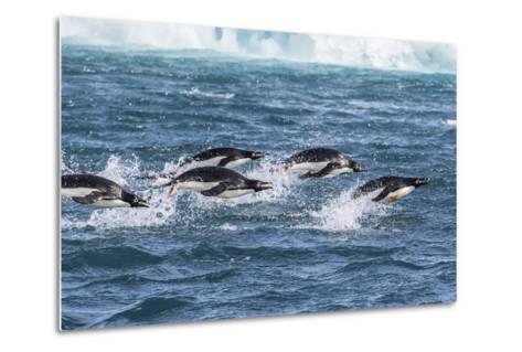 Adelie Penguins (Pygoscelis Adeliae) Porpoising at Sea at Brown Bluff, Antarctica, Southern Ocean-Michael Nolan-Metal Print