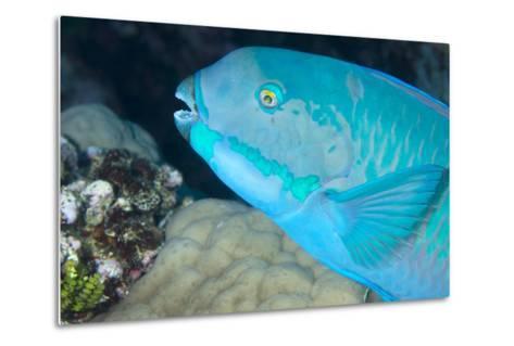 Indian Steephead Parrotfish (Scarus Strongycephalus), Beak Open Feeding, Queensland, Australia-Louise Murray-Metal Print