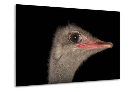 A Male Ostrich, Struthio Camelus, at Omaha's Henry Doorly Zoo and Aquarium-Joel Sartore-Metal Print
