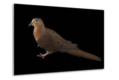 A Brown Cuckoo Dove, Macropygia Amboinensis, at the Wild Life Sydney Zoo-Joel Sartore-Metal Print