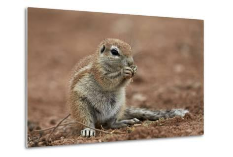 Young Cape Ground Squirrel (Xerus Inauris) Eating-James Hager-Metal Print