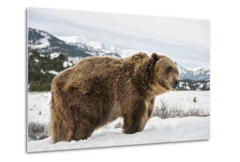 Brown Bear (Grizzly) (Ursus Arctos), Montana, United States of America, North America-Janette Hil-Metal Print