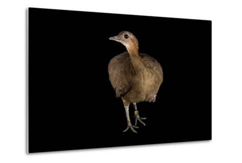 A Great Tinamou, Tinamus Major, at the Dallas World Aquarium-Joel Sartore-Metal Print