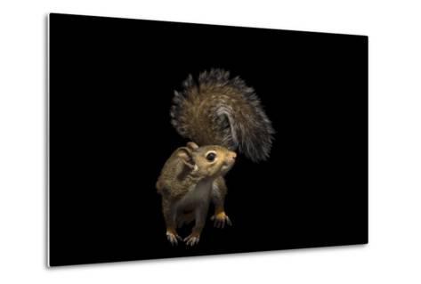 A Studio Portrait of an Eastern Gray Squirrel, Sciurus Carolinensis-Joel Sartore-Metal Print