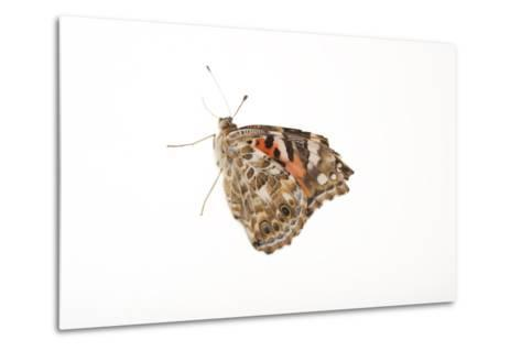 American Painted Lady, Vanessa Cardui, a Native to Nebraska, at the Lincoln Children's Zoo-Joel Sartore-Metal Print