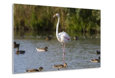 Portrait of a Greater Flamingo, Phoenicopterus Roseus, Standing Among Ducks in Water-Sergio Pitamitz-Metal Print