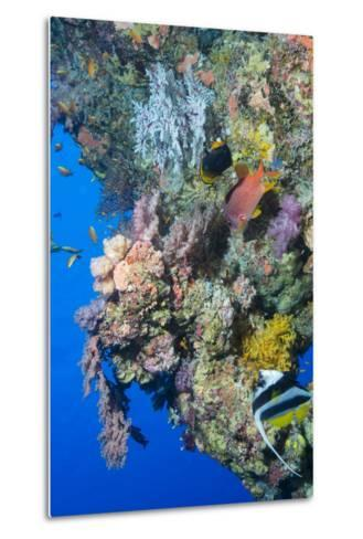 Colourful, Coral Covered Reef Wall at Osprey Reef, Longfin Banner Fish (Heniochus Acuminatus)-Louise Murray-Metal Print