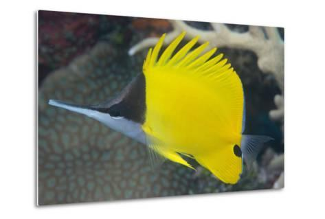 Longnose Butterflyfish (Forcipiger Flavissimus)-Louise Murray-Metal Print