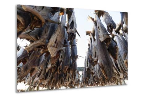Cod Fish Drying, Hamnoy, Lofoten Islands, Arctic, Norway, Scandinavia-Sergio Pitamitz-Metal Print