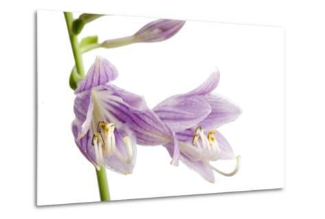 A Studio Shot of Hosta Flowers, Hosta Clausa-Joel Sartore-Metal Print