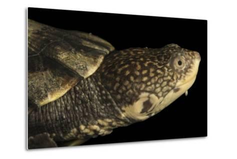 Tuberculated Toad-Headed Turtle, Mesoclemmys Tuberculata-Joel Sartore-Metal Print
