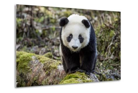 Portrait of a Captive-Born Giant Panda in the Dengsheng Forest-Ami Vitale-Metal Print