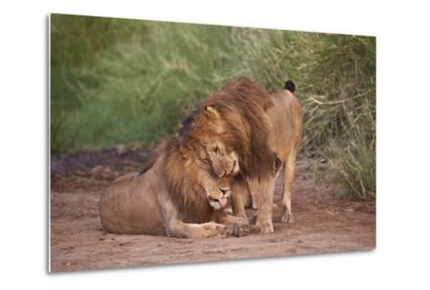 Two Lions (Panthera Leo), Serengeti National Park, Tanzania, East Africa, Africa-James Hager-Metal Print