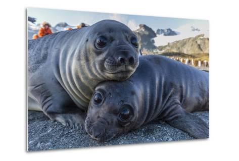 Southern Elephant Seal Pups (Mirounga Leonina), Gold Harbor, South Georgia, Polar Regions-Michael Nolan-Metal Print