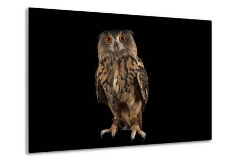 A Eurasian Eagle Owl, Bubo Bubo, at Ocean Park-Joel Sartore-Metal Print
