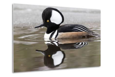 A Male Hooded Merganser Duck, Lophodytes Cucullatus, Swimming in Icy Water-Robbie George-Metal Print