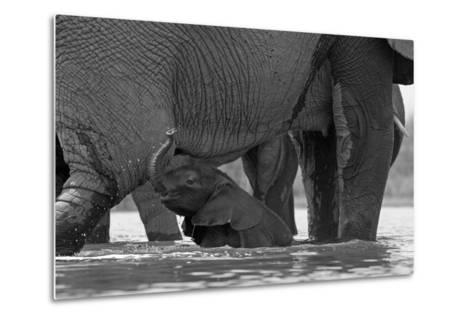 An African Elephant Calf Playing in the Water with its Herd-Beverly Joubert-Metal Print