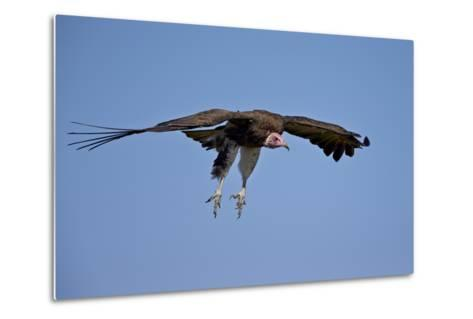 Hooded Vulture (Necrosyrtes Monachus) in Flight on Approach to Landing-James Hager-Metal Print