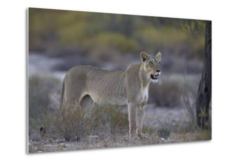 Lioness (Panthera Leo), Kgalagadi Transfrontier Park-James Hager-Metal Print