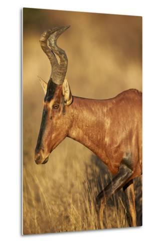 Red Hartebeest (Alcelaphus Buselaphus)-James Hager-Metal Print