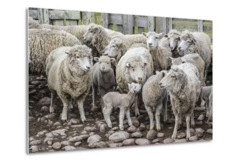 Sheep Waiting to Be Shorn at Long Island Sheep Farms, Outside Stanley, Falkland Islands-Michael Nolan-Metal Print