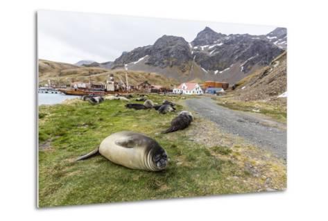 Southern Elephant Seal Pups (Mirounga Leonina) after Weaning in Grytviken Harbor, South Georgia-Michael Nolan-Metal Print