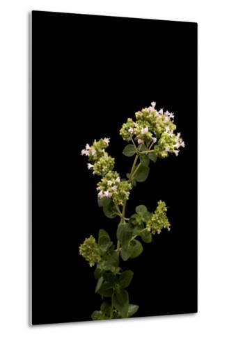 An Oregano Plant, Origanum Vulgare-Joel Sartore-Metal Print