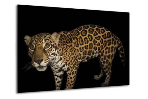 A Federally Endangered Ten-Year-Old Female Jaguar, Panthera Onca, at the Dallas World Aquarium-Joel Sartore-Metal Print