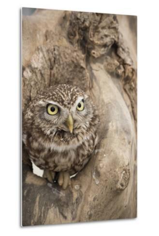 Little Owl (Athene Noctua), Devon, England, United Kingdom-Janette Hill-Metal Print