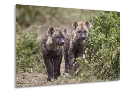 Two Spotted Hyena (Spotted Hyaena) (Crocuta Crocuta) Pups-James Hager-Metal Print
