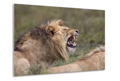 Lion (Panthera Leo) Demonstrating the Flehmen Response-James Hager-Metal Print