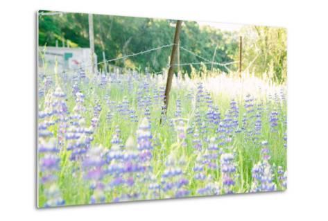 Roadside Lupine Wildflowers in Spring-Vincent James-Metal Print