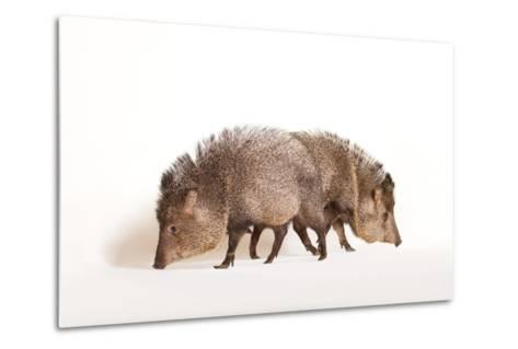 Collared Peccary, Pecari Tajacu, at the Omaha Zoo's Wildlife Safari Park-Joel Sartore-Metal Print